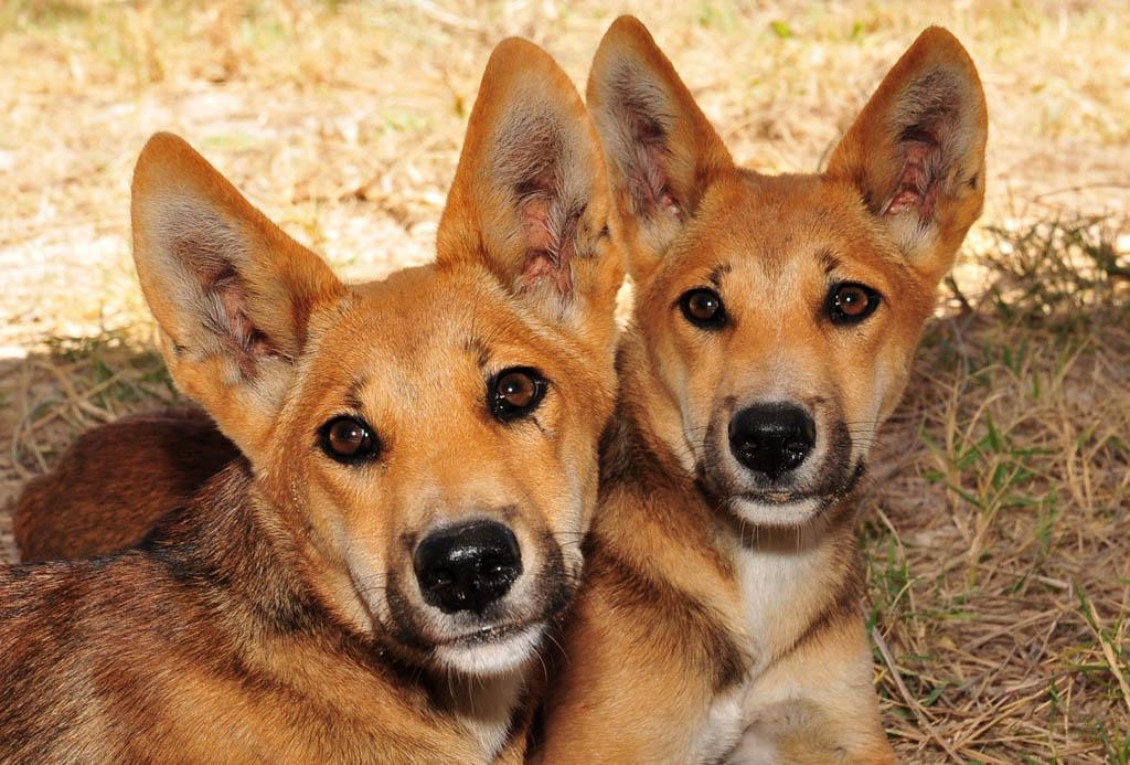 Dingo pups sit outside our tent