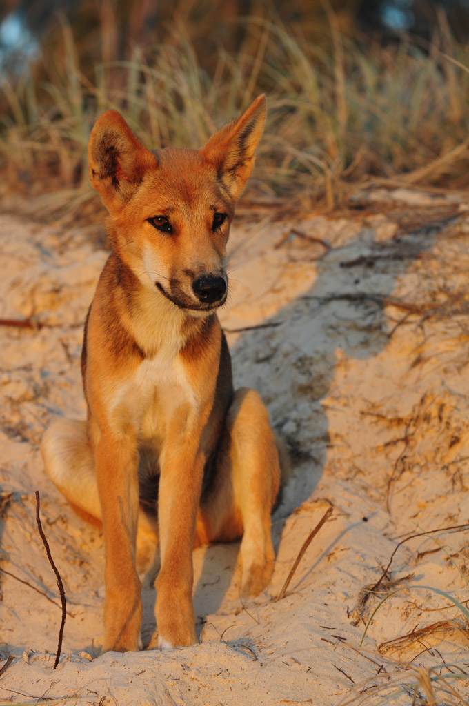 dingo pup on fraser island