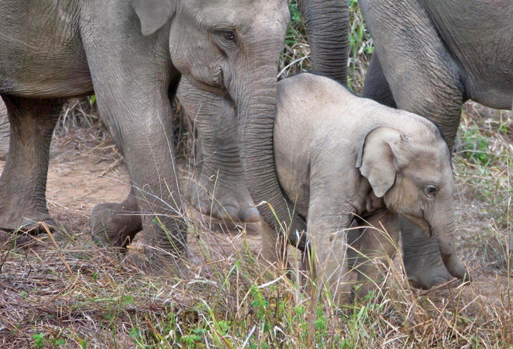 Kuri Buri Protective family of elephants