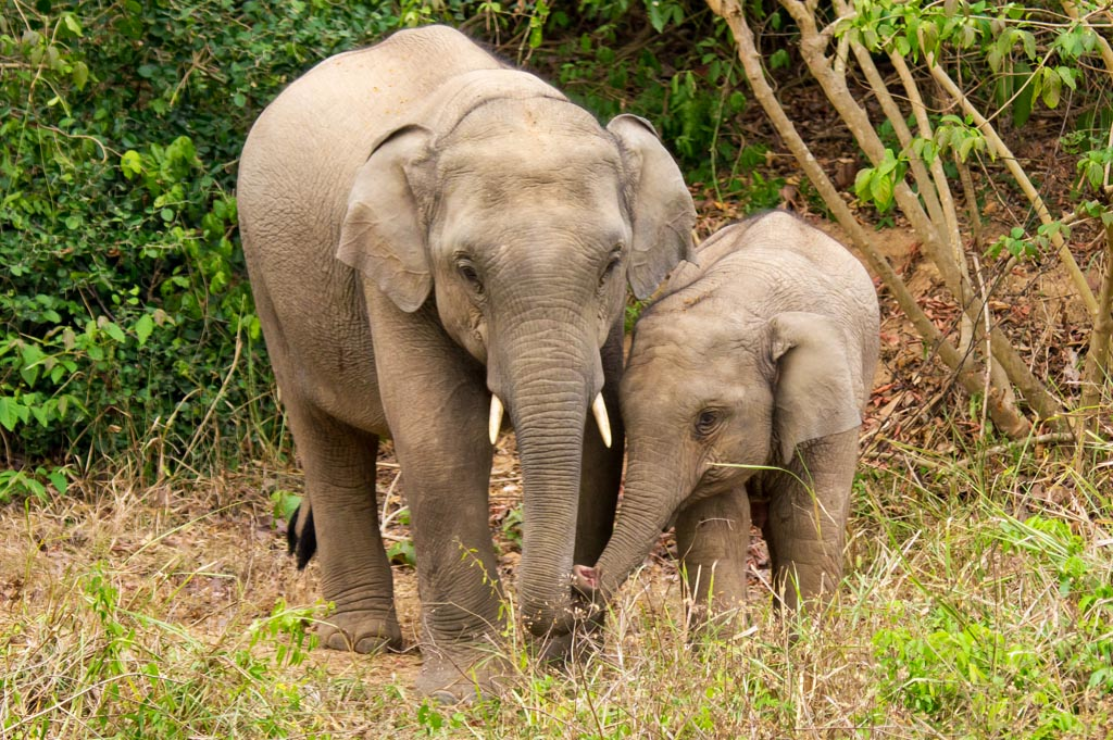 baby elephants in kui buri national park