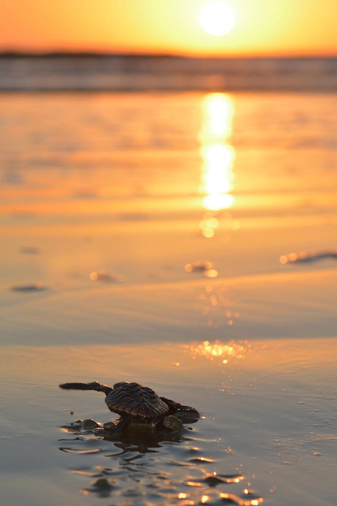 baby-loggerhead-turtle