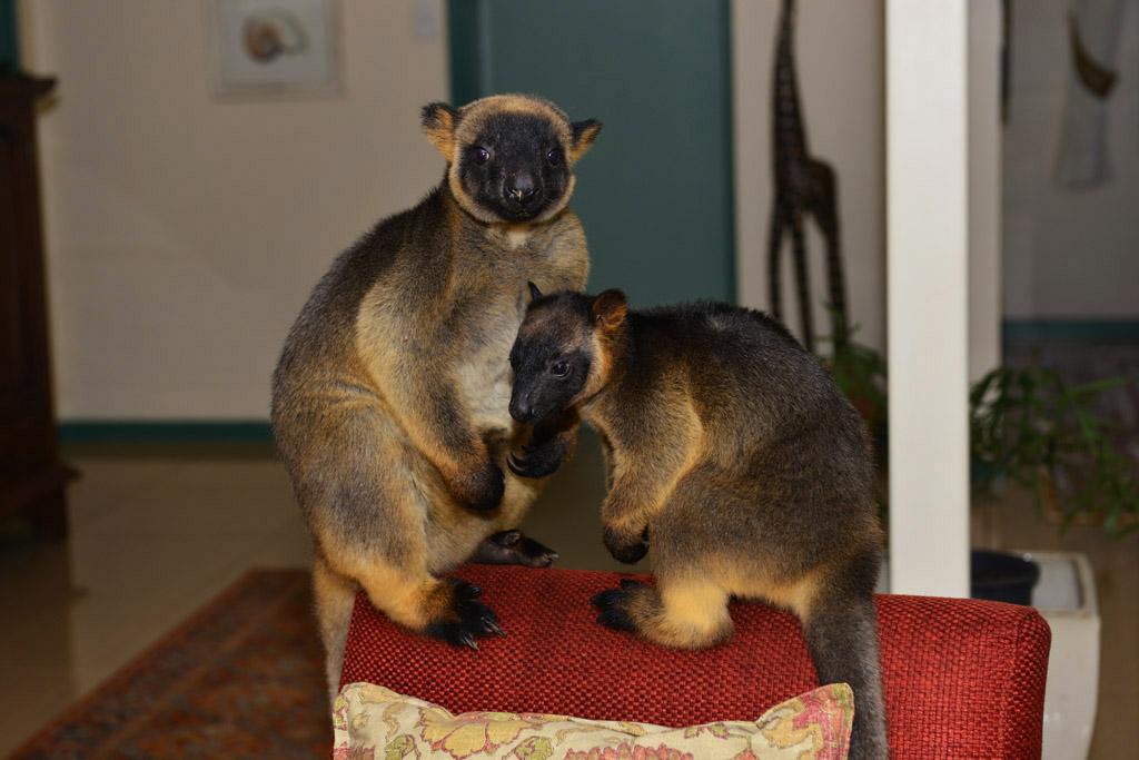Kimberly and Monty - tree kangaroos at Lumholtz Lodge