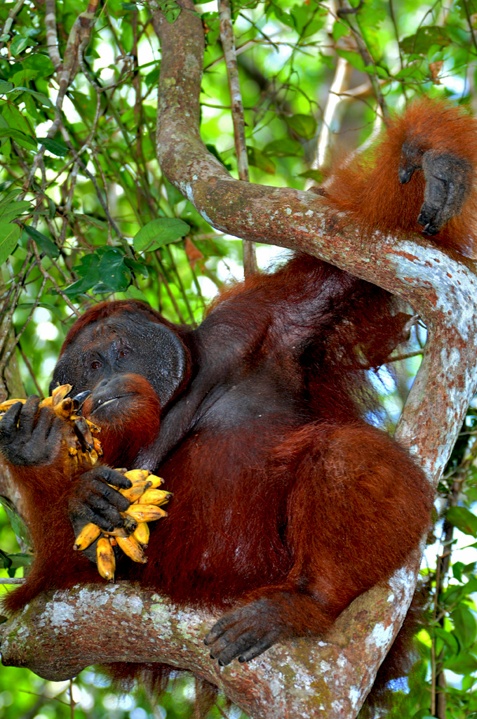 Doyok the dominant orangutan
