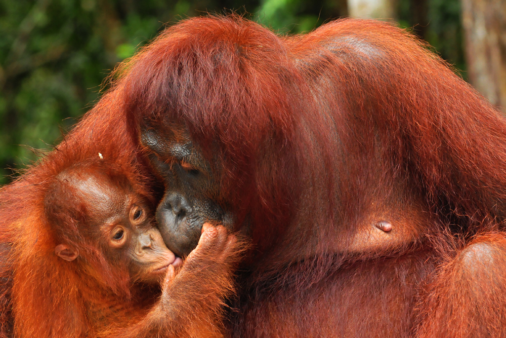 mum and baby orangutans at camp leakey