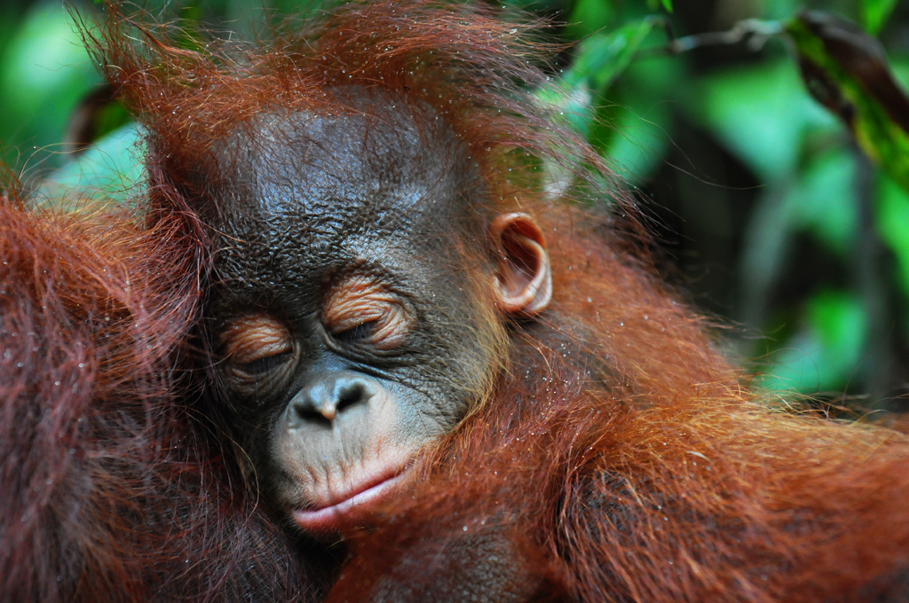 baby orangutan at camp leakey