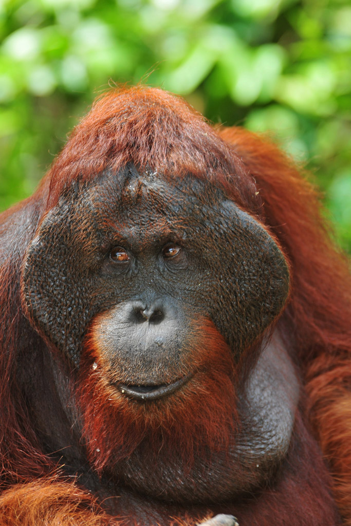doyok the lead orangutan