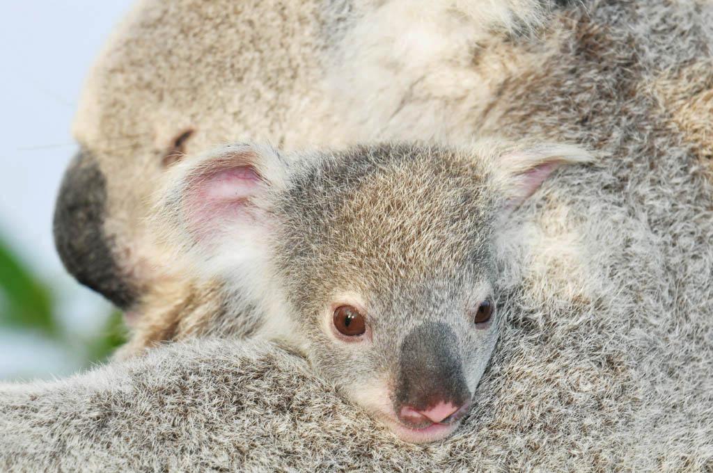 Koala baby and mum