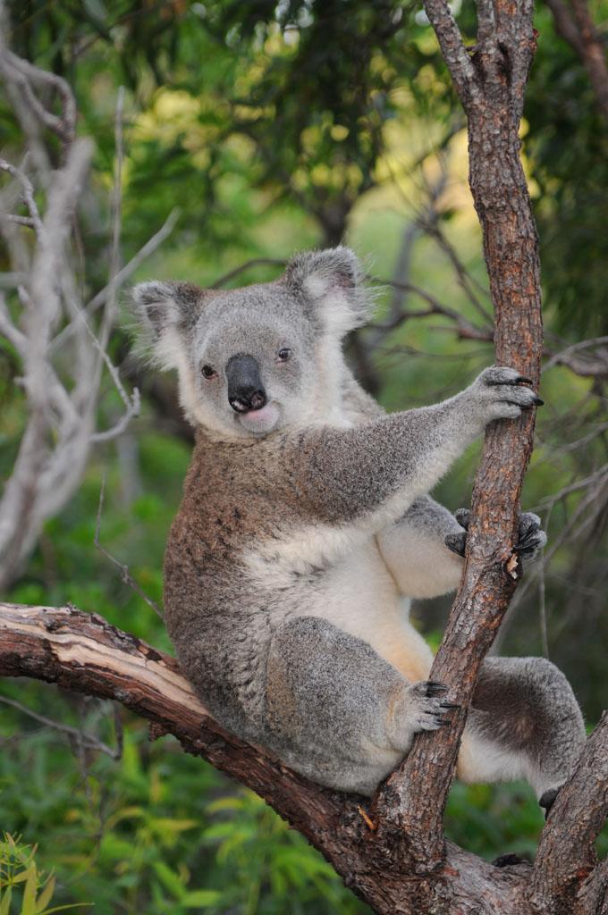 Koala on Magnetic Island