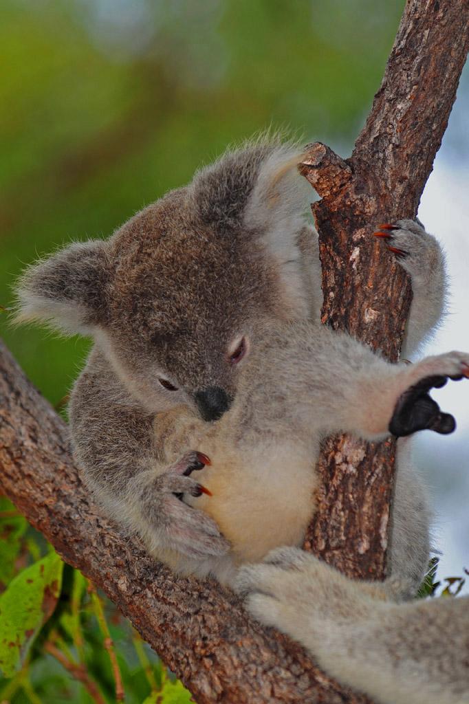 baby koala gets a helping hand