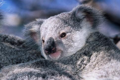 baby koala on mums back