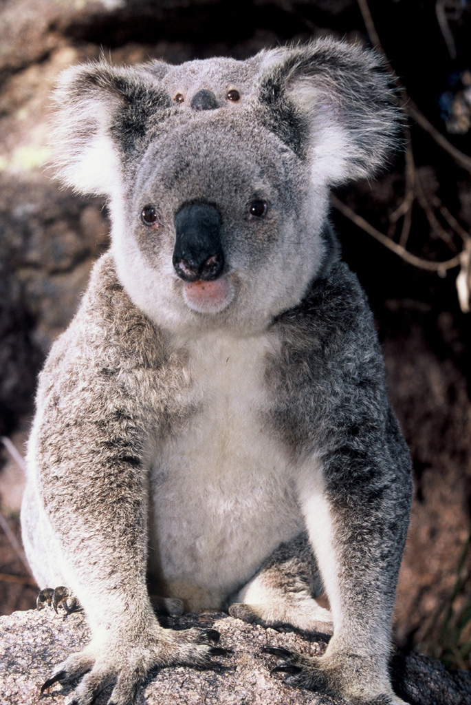 koala and baby magnetic island