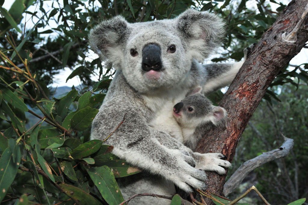 magnetic island is one of the best places to see koalas in the wild