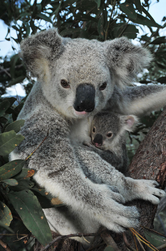 mum and baby koala on the forts walk