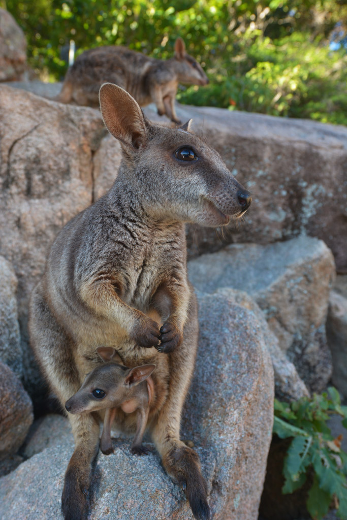 rock wallaby and baby