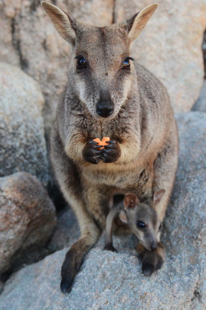 rock wallaby eats sweet potato