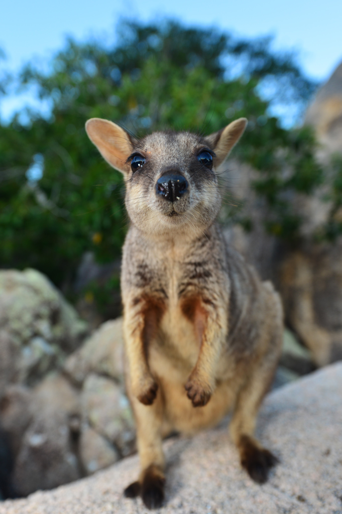 rock wallaby magnetic island