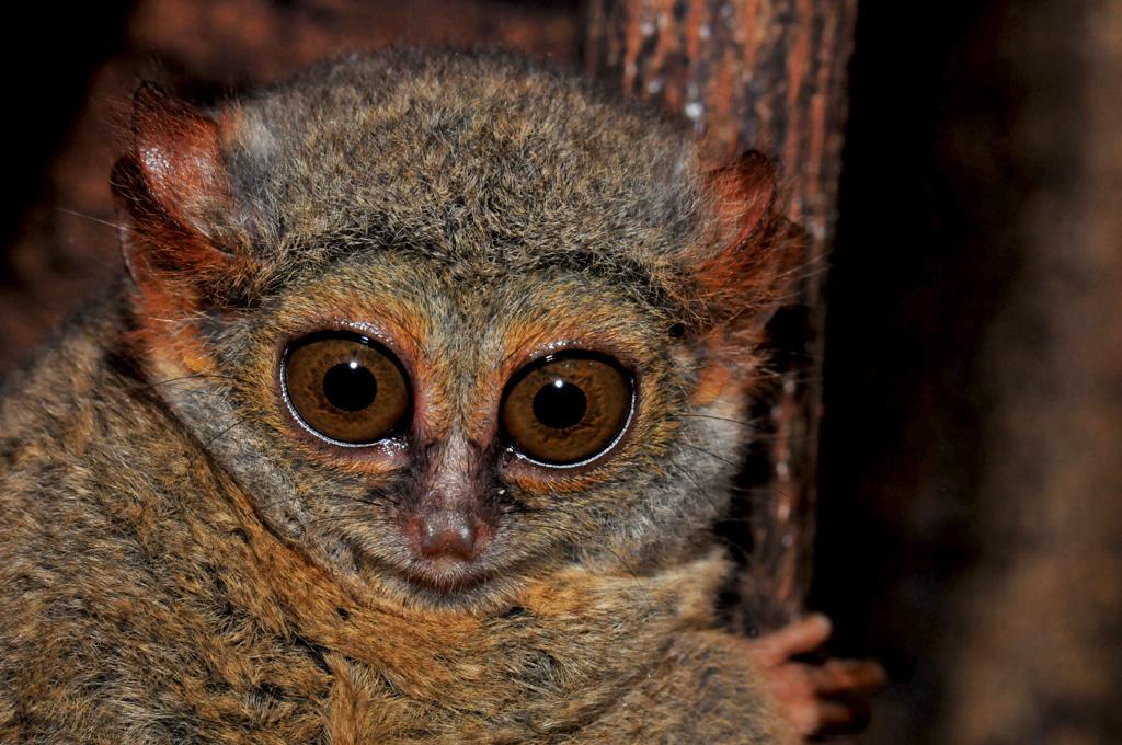 4 week old baby tarsier