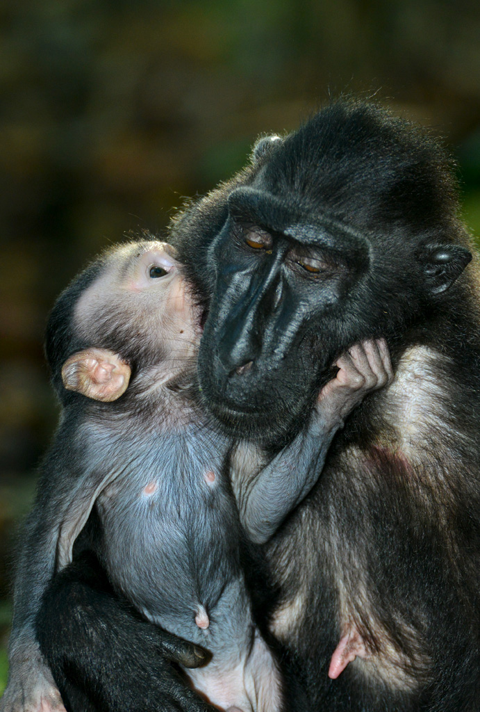 Black Macaque and baby