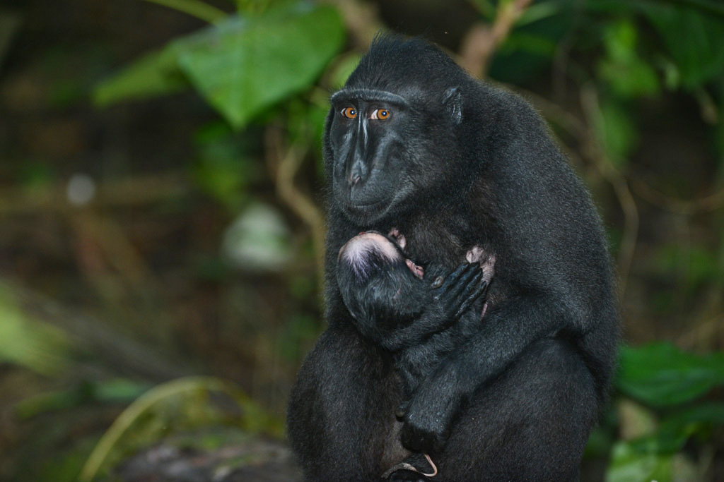 Newborn Black Macaque with the umbilical cord still attached