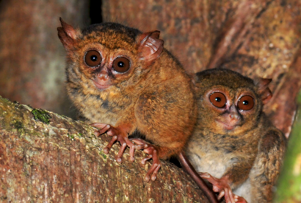 tarsier family in tangkoko national park