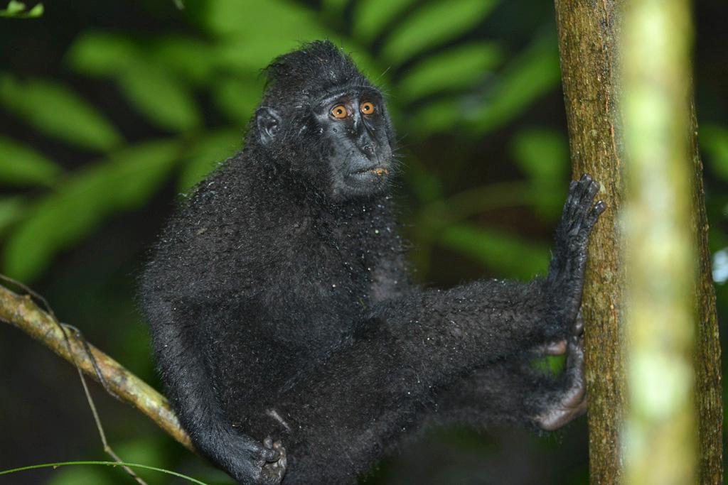 Black Macaque at tangkoko national park