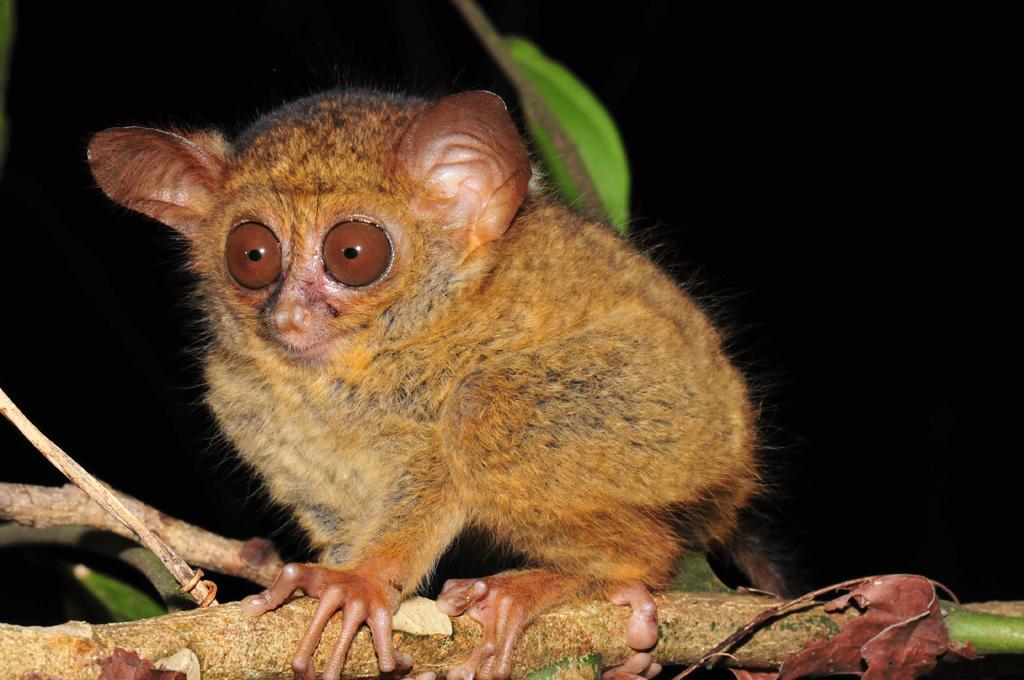 baby tarsier at tangkoko national park