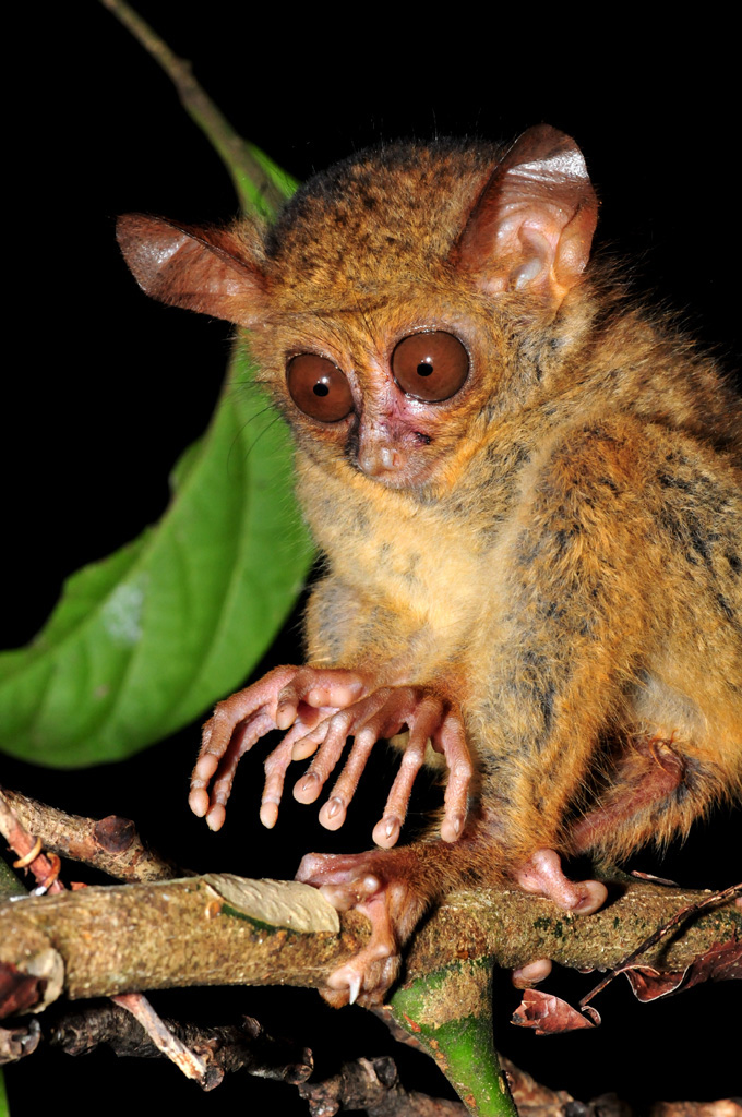 baby tarsier tries to look frightening