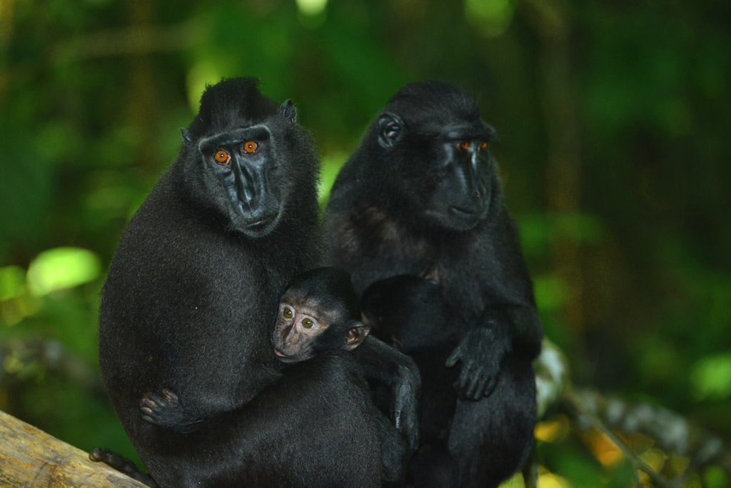 black macaques and babies