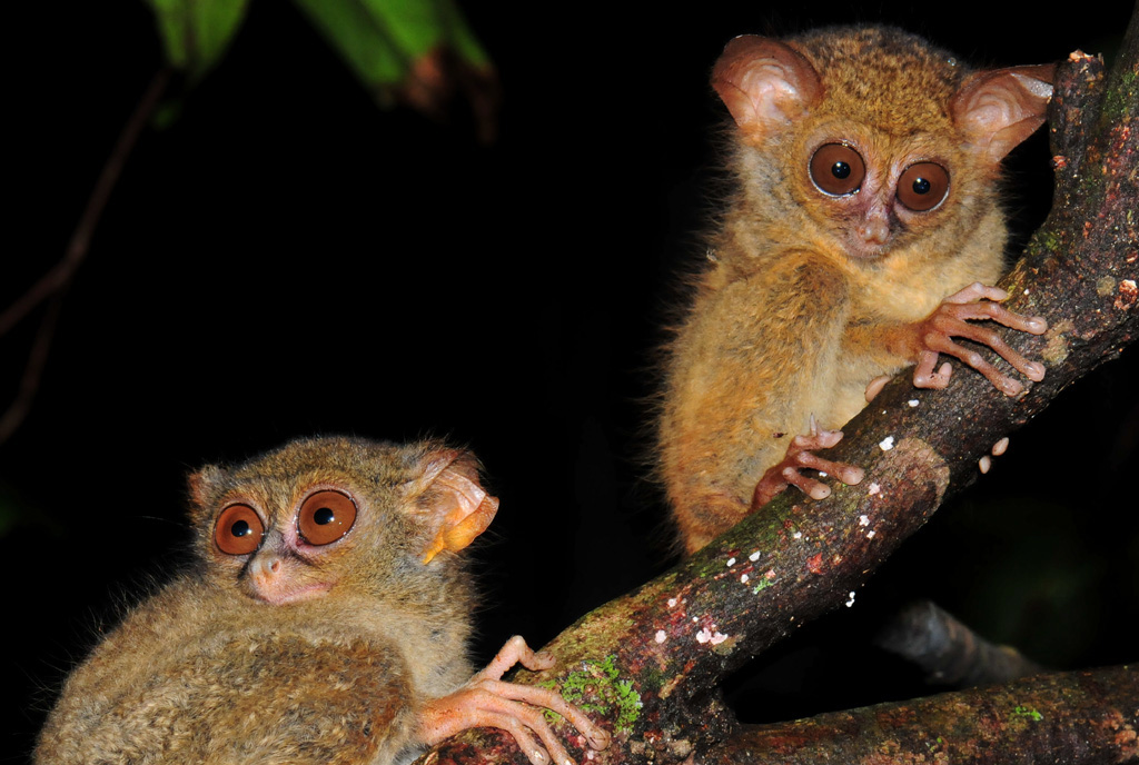mum and baby tarsiers at tangkoko national park