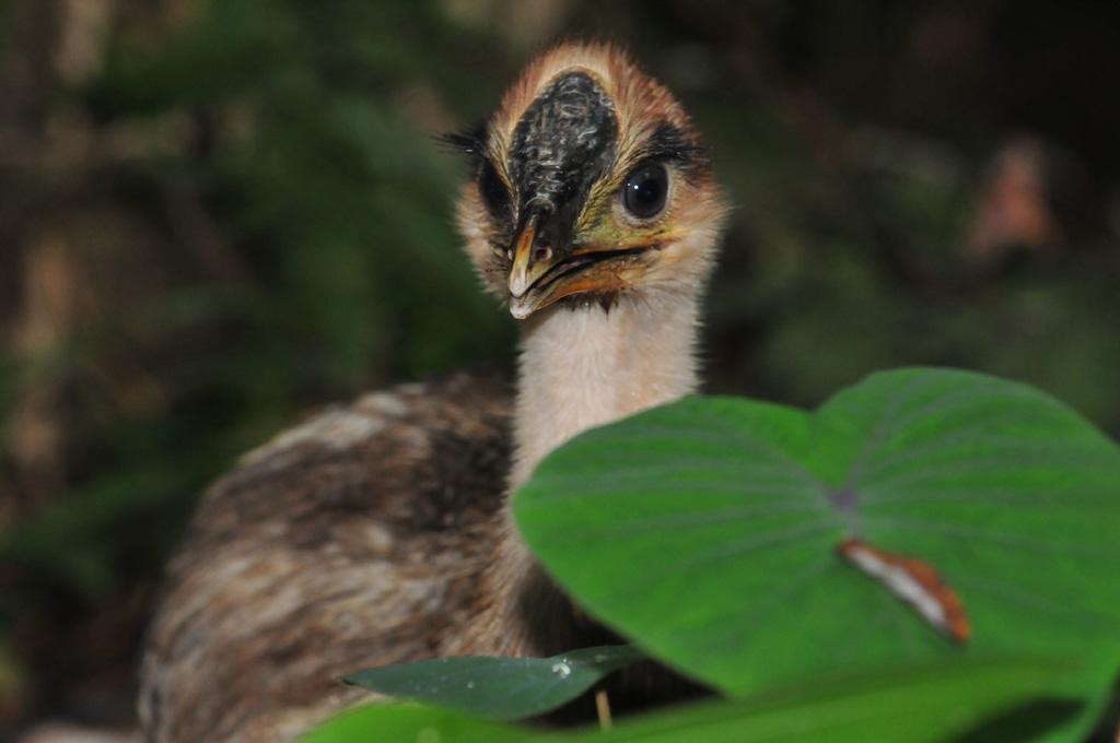 Cassowary chick kuranda has a drink