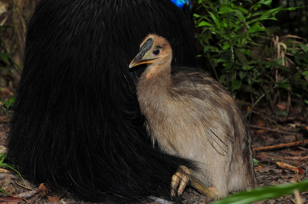 Cassowary chick snuggles up to dad