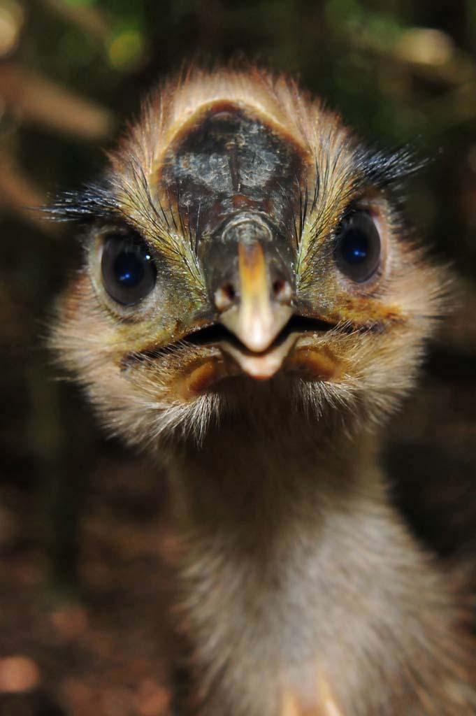 Cassowary chick