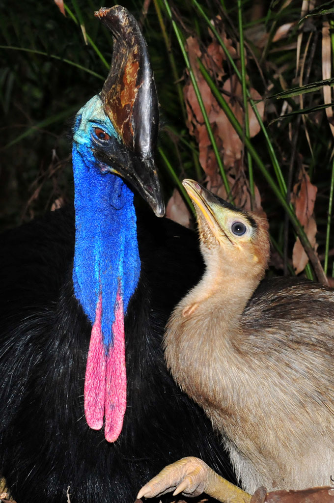 Cassowary dad and chick