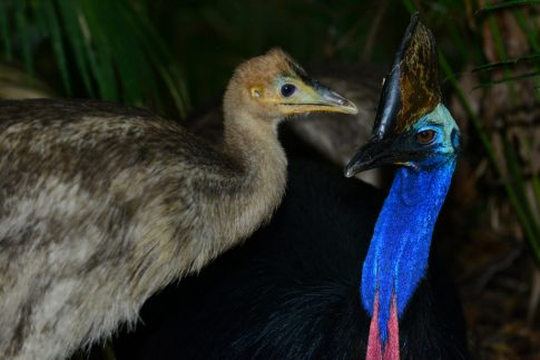 Cassowary dad and his 12 week old chick