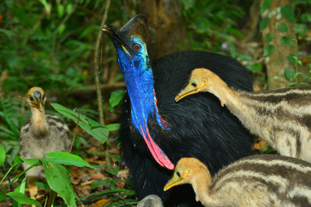 Cassowary dad and his three chicks have a drink