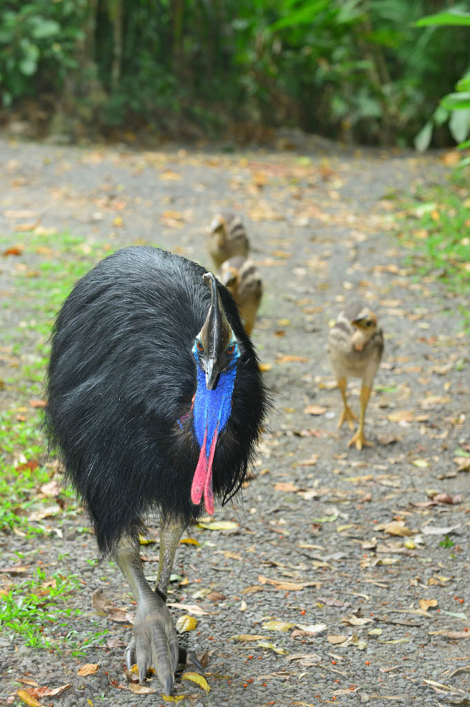 Dad and the chicks arrive at Cassowary House.