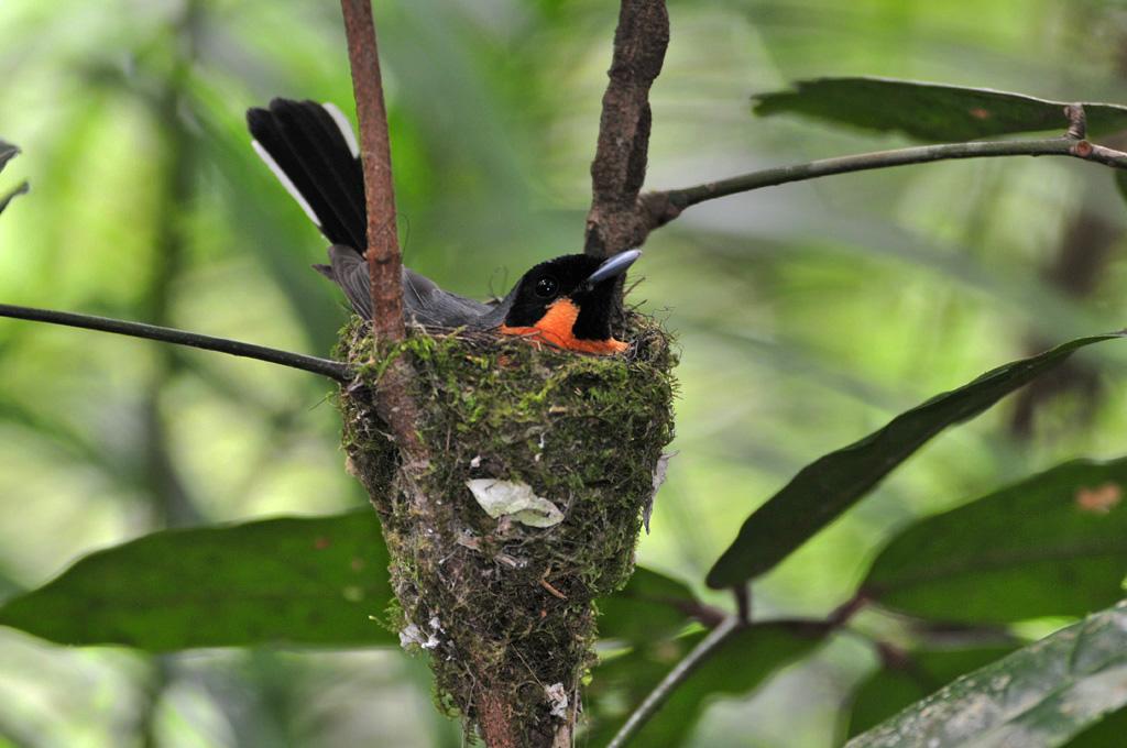 Fly Catcher in nest