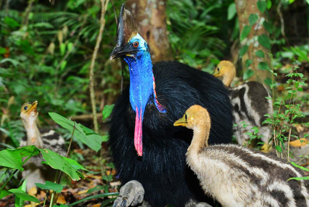 Kuranda Cassowarys and chicks