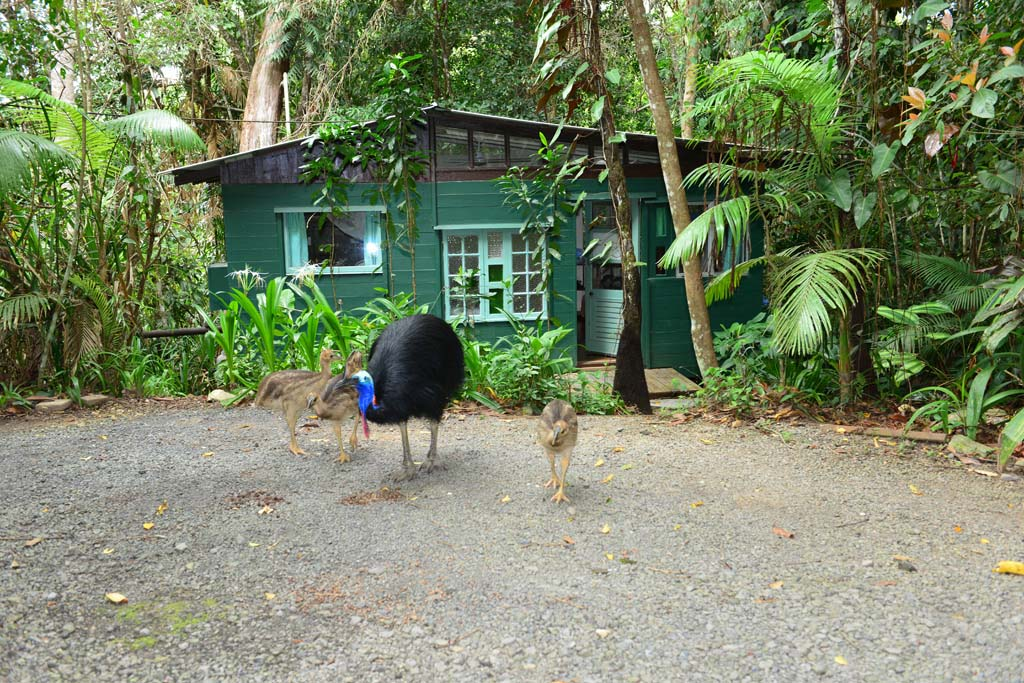 The Cassowaries outside our Bush Cottage