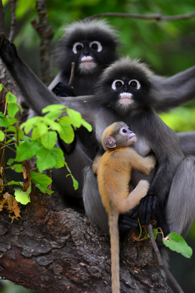 dusky monkeys and a baby