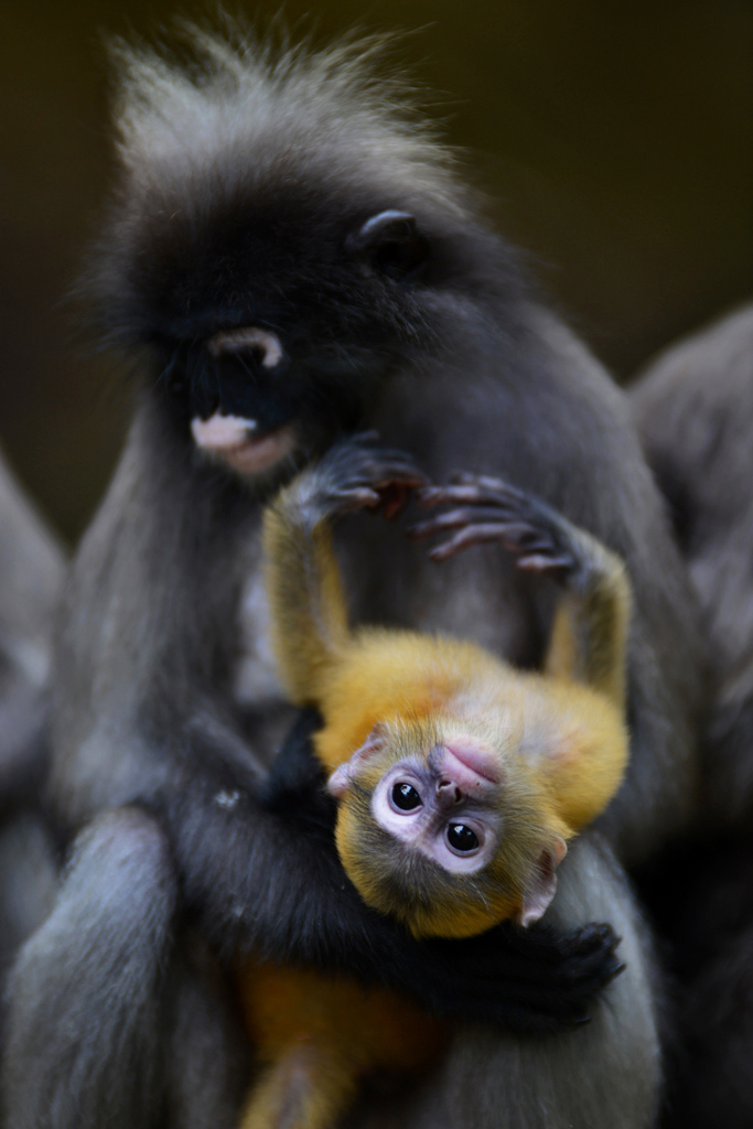 Dusky monkey baby playing