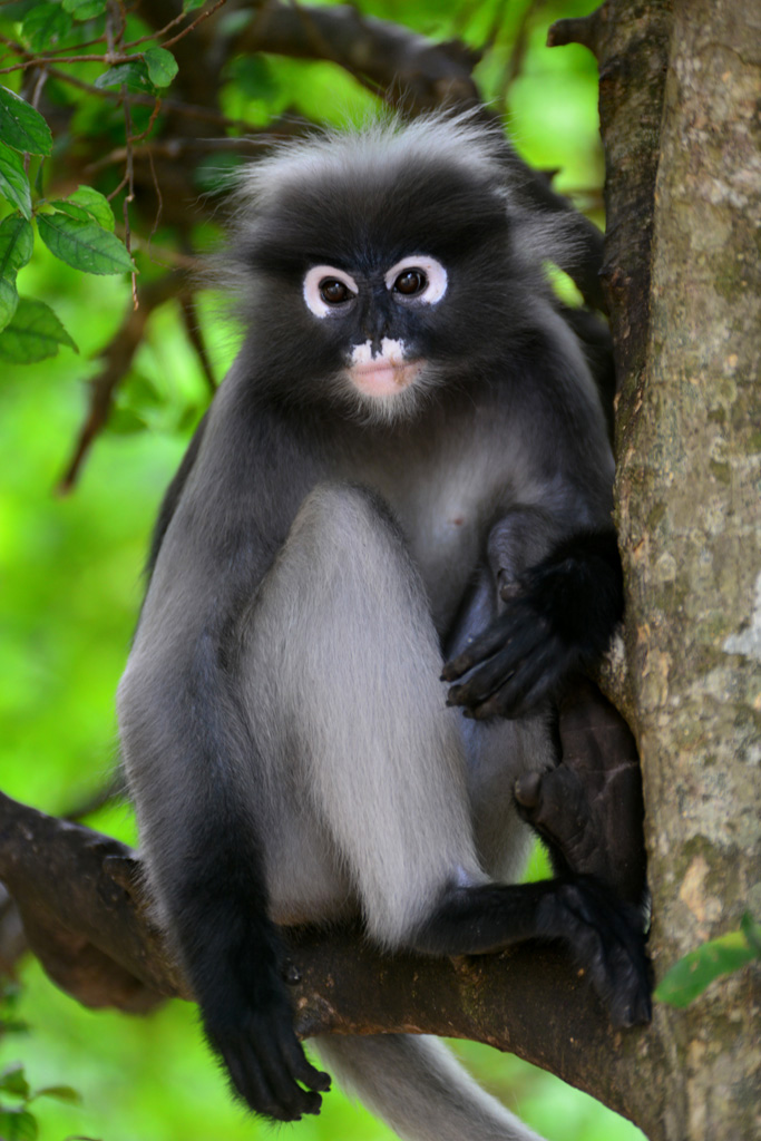 dusky monkey sits in a tree