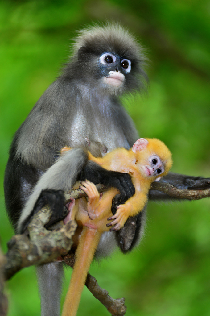 Dusky monkey and baby in tree