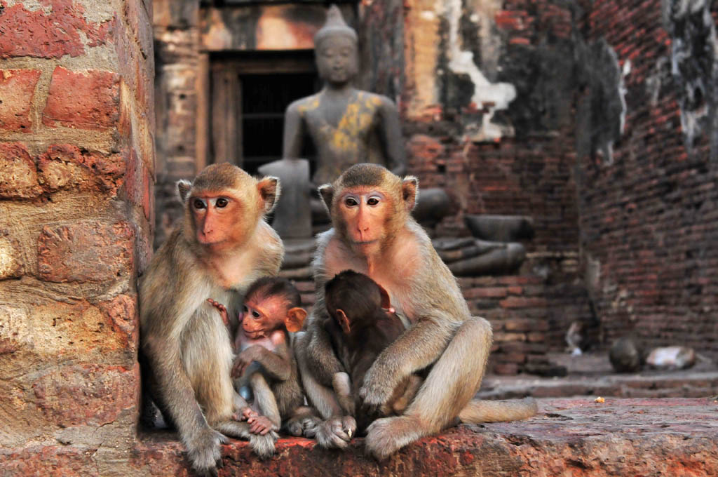 Macaque Monkeys at Prang Sam Yot Temple in Lopburi