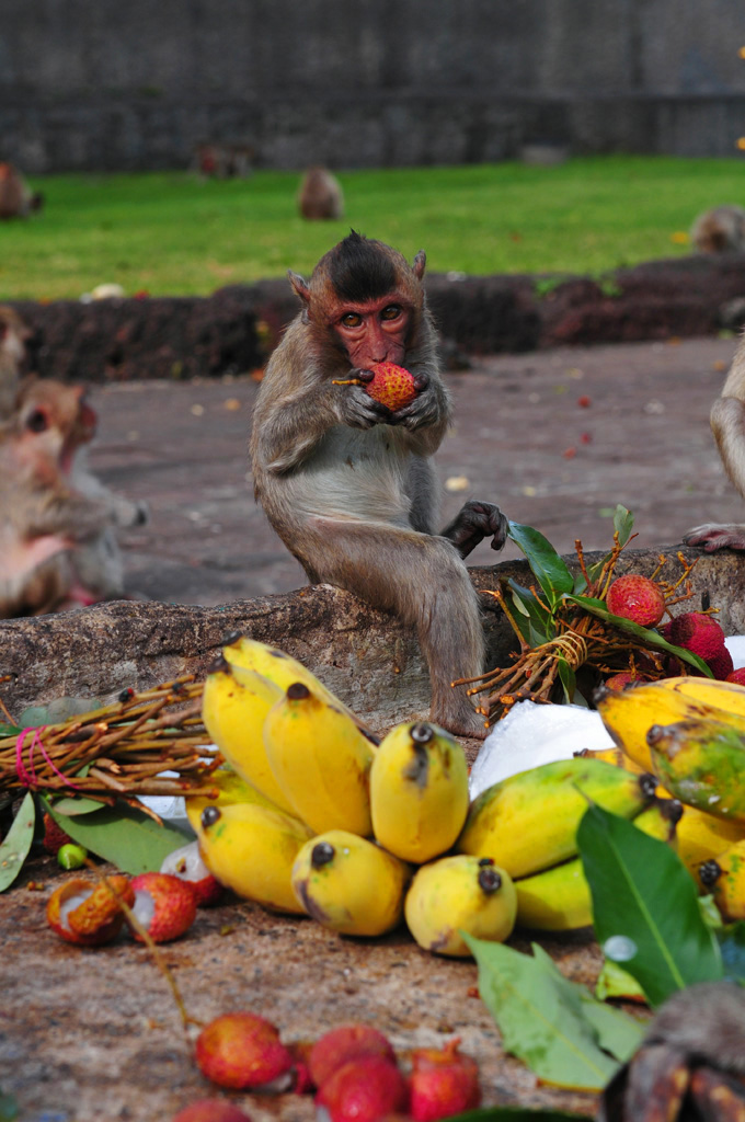 Monkey Feast Lopburi