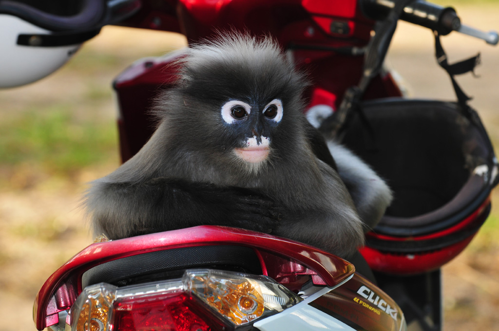 dusky monkey on our motorbike