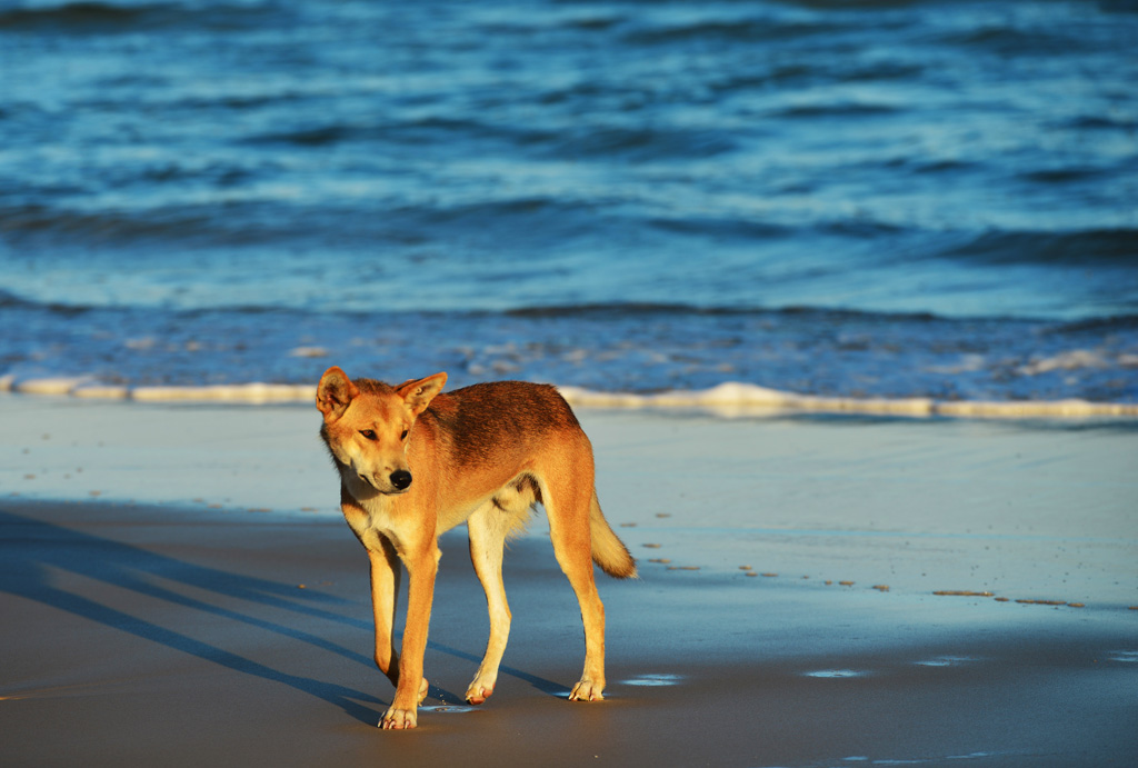 A dingo that was in our camp while camping on fraser island