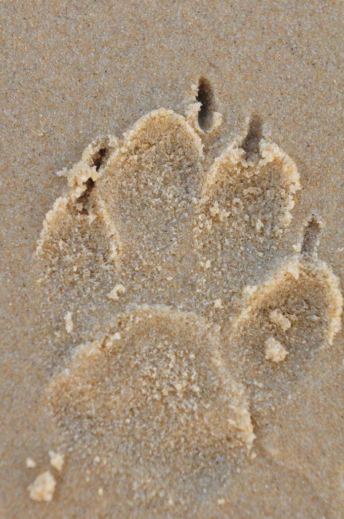 Dingo footprint
