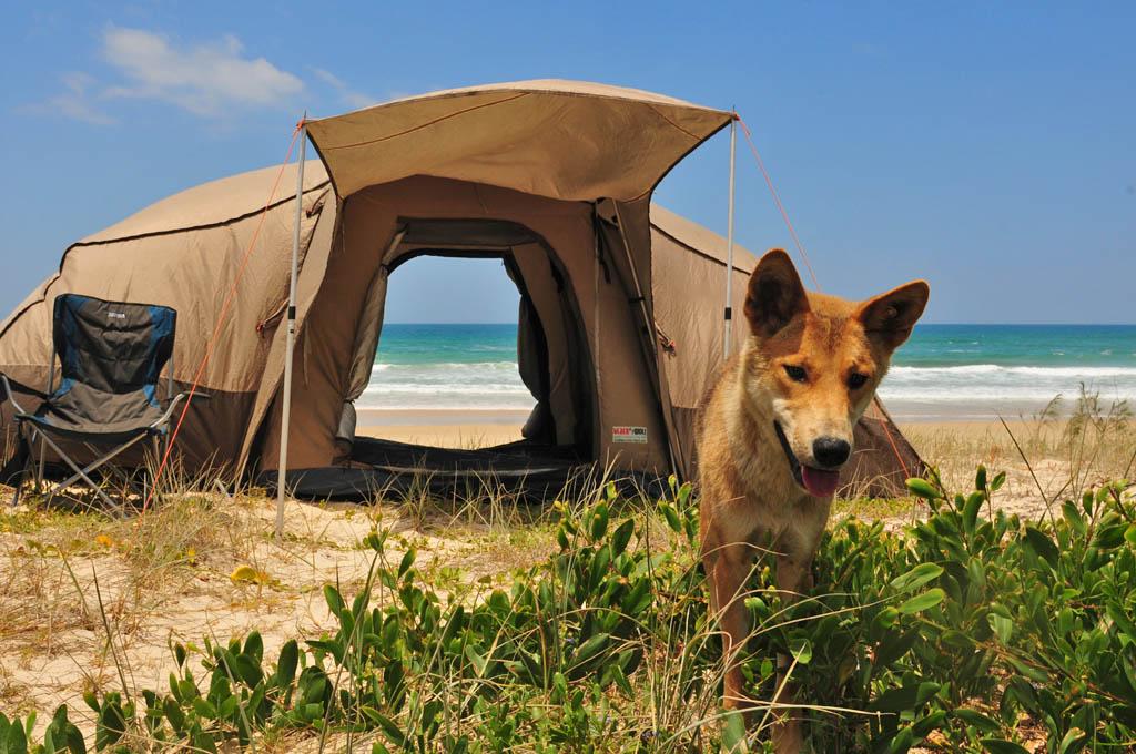 Dingo visits our tent