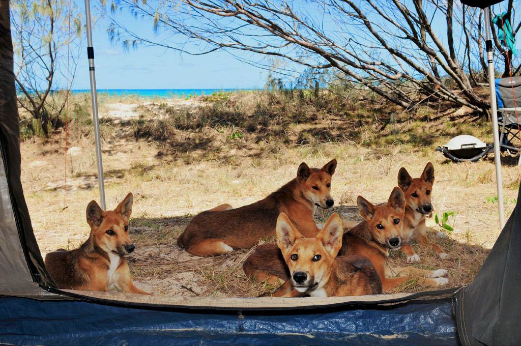 Dingos rest in the shade outside our tent on Fraser Island